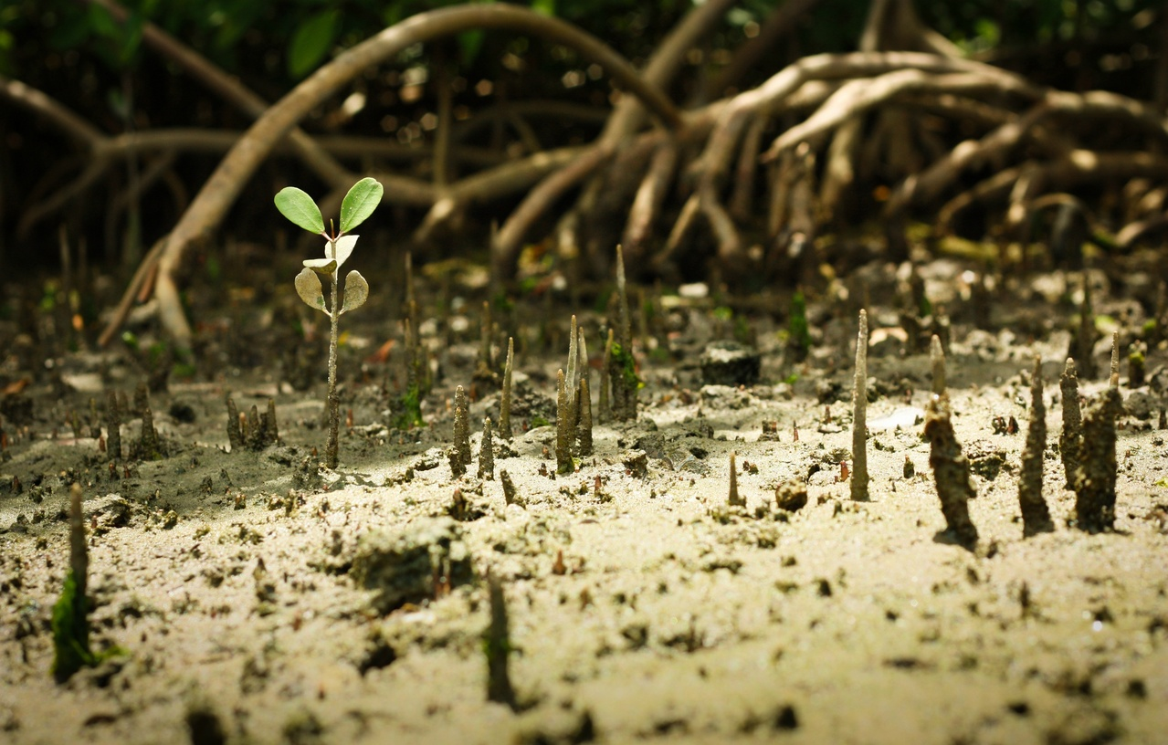 A young mangrove sprouting through the sandy substrate near Port of the Islands, Florida.