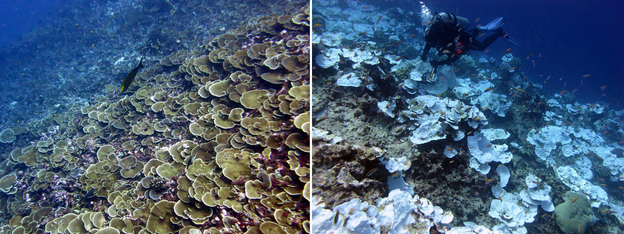Coral cover at Jarvis Island before and during the coral bleaching event.