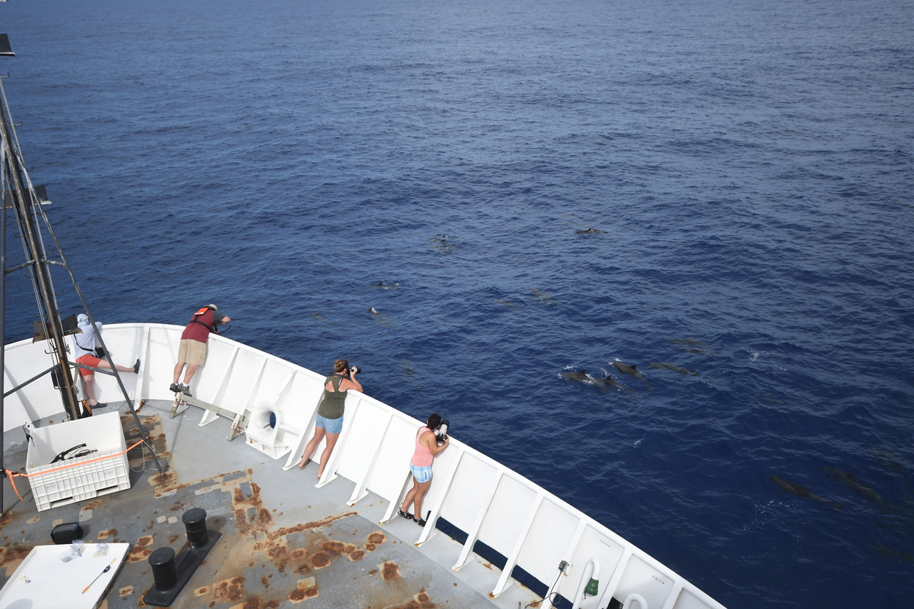 Melon-headed whales approaching the ship to ride the waves off the bow.