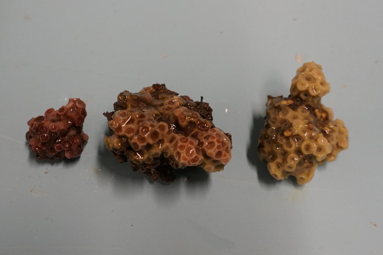 astrangia poculata corals from NEFSC Milford