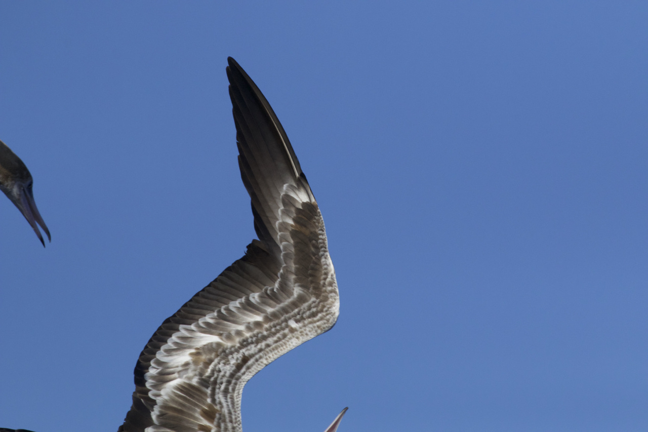 Two birds. One species. What is it? First clue: they are common around Hawaii. Second clue: they frequently ride the updraft in front of the Oscar Elton Sette and feed on flying fish flushed by the ship. Bonus clue: they have red feet..Answer:.Red-footed booby.