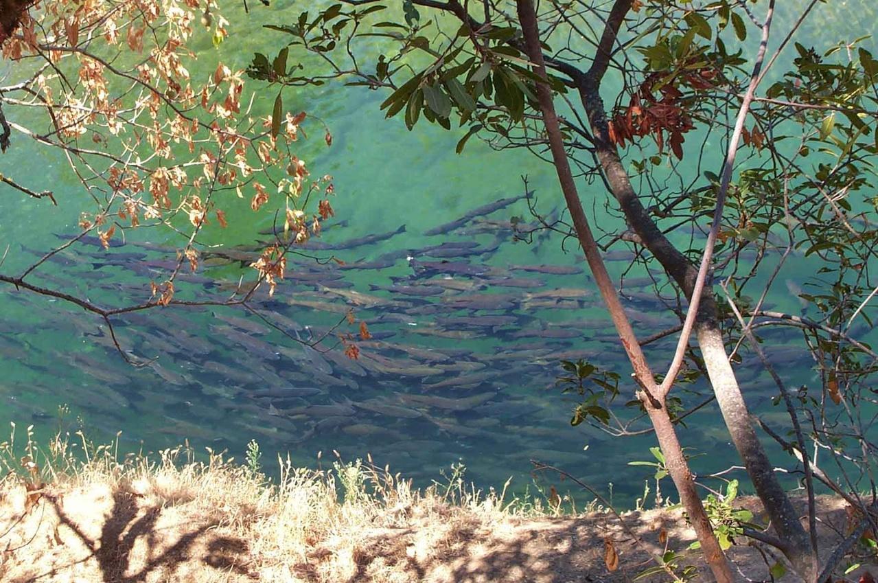 School of salmon in river