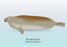 Bearded Seal Graphic