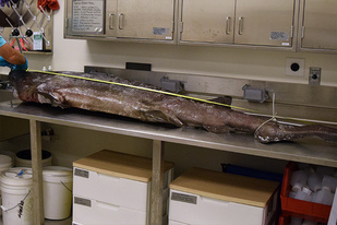 Measuring a shark on a lab table, length wise.