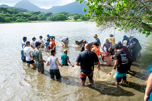 Community members corralled the fish in the Waikalua Fishpond (close-up).