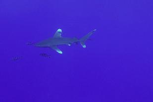 Ocean white tip shark swimming.