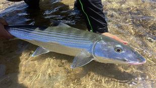 Hawaiian bonefish (Oio)