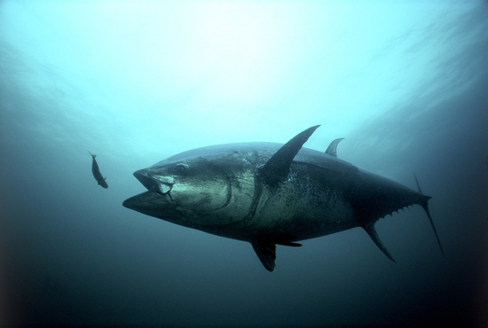 Bluefin Tuna Strike