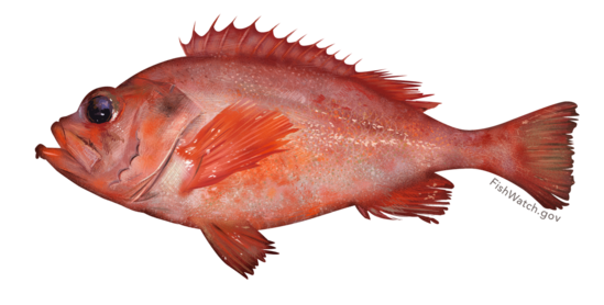 Acadian redfish illustration