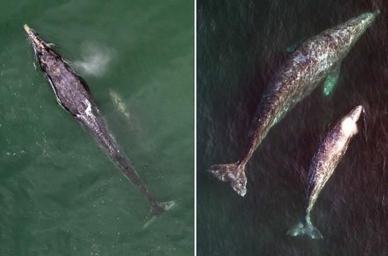 Gray whale comparison