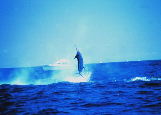 Pacific blue marlin