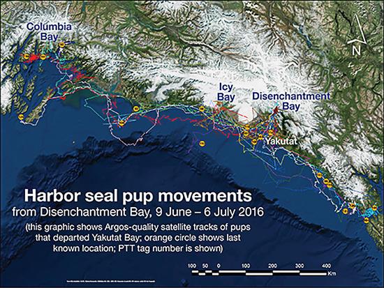 Harbor seal pup movement
