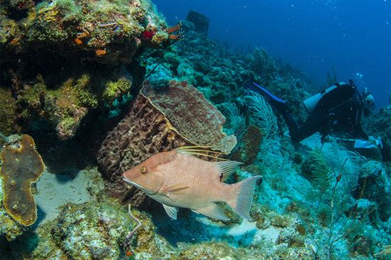 750x500-Scuba-survey-Hogfish-SEFSC.jpg