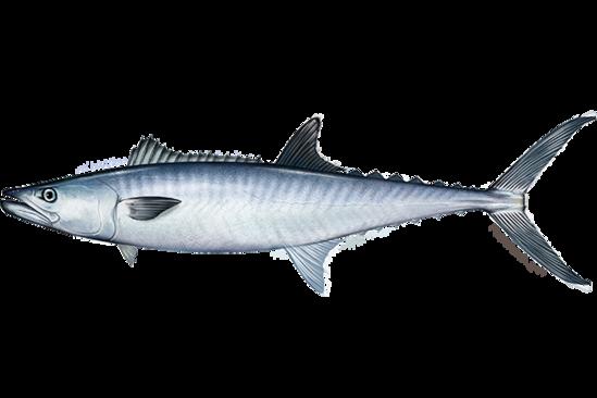 king_mackerel.png