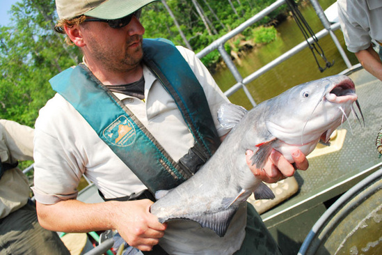 750x500_Bluecatfish_NOAACBO.jpg