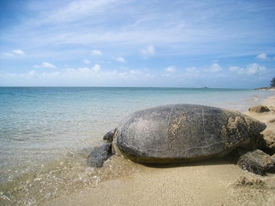 Adult sea turtle on the beach.