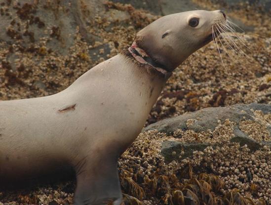 Black rubber band on Steller sea lion