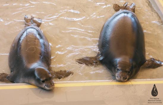 Two monk seal pups rest at the Ke Kai Ola Seal Hospital.
