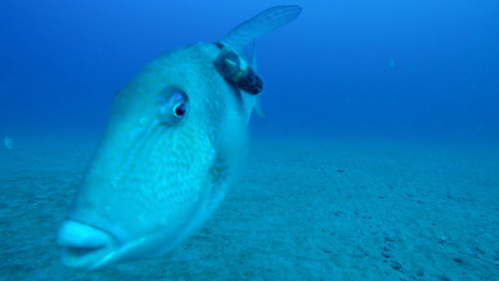 gray triggerfish tagged for research