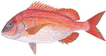 fish-red-porgy-image.jpg