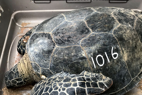 """Green sea turtle with white number """"1016"""" painted on its shell rests inside of a pet carrying case."""