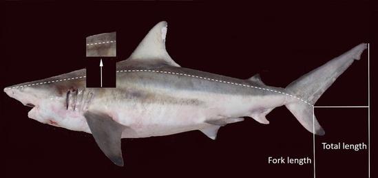 Where to extract shark backbone.