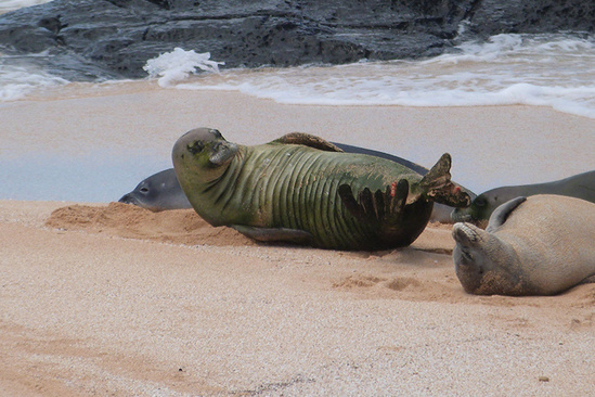 Three Hawaiian monk seals on the beach sand.