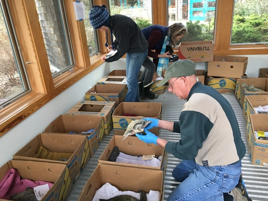 Scientists triaging cold stunned turtles inside placing them in banana boxes OPR2.jpeg