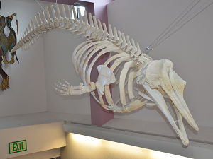 A skeleton of a beaked whale hanging from the ceiling..