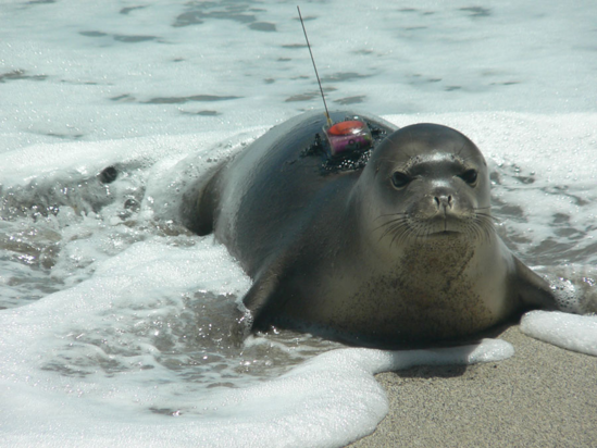A young monk seal emerges from the water with a satellite tag containing important foraging data