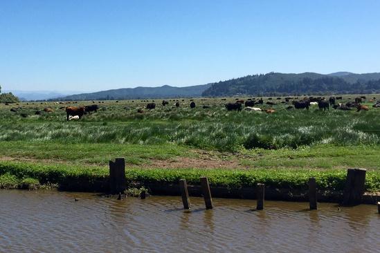 2018-09 Winter Lake Cows.jpg