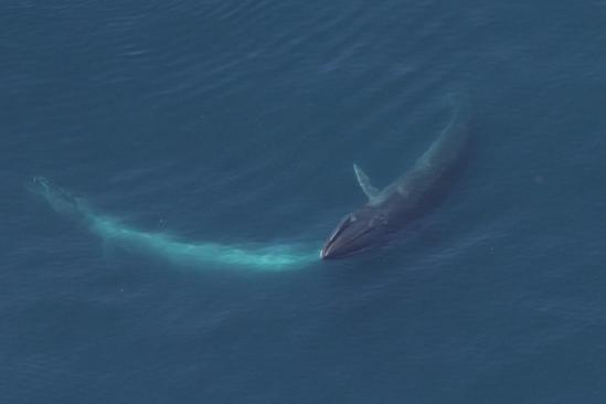 A sei whale feeding.