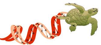 Marine Turtle Genetics Program motif