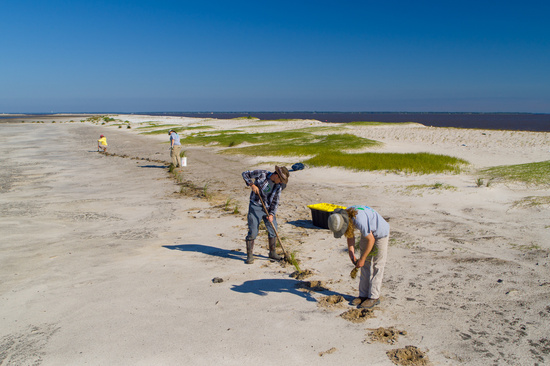 GulfCorps crew member dig holes on an island beach - to plant seedlings.