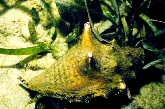Queen Conch, Photo Credit, NOAA.png