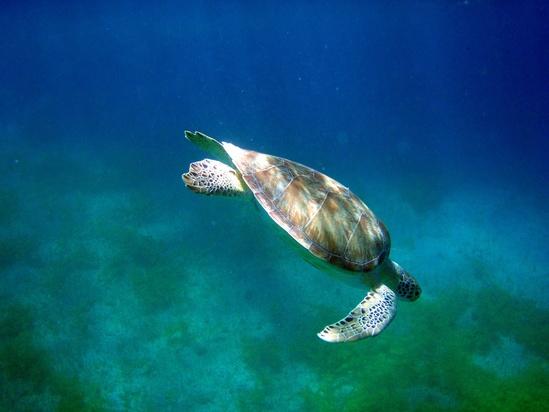 green-turtle-turner-SWFSC.jpg