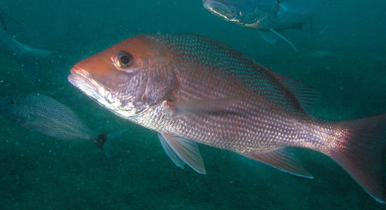 Red Snapper swimming in water column