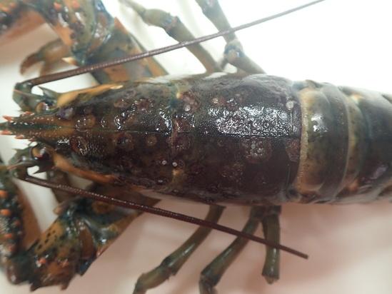 Lobster shell showing disease