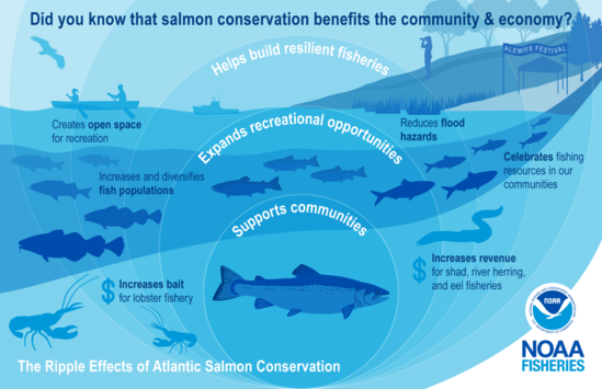 """This illustration is color-coded in shades of blue and shows the benefits of salmon conservation for the community and economy. It highlights examples of the """"ripple effects"""" with an illustration of expanding circles over a river connected to the ocean with an Atlantic salmon at the center. The salmon swims upstream to the right surrounded by a restored coastline represented by smaller salmon, schooling river herring, Atlantic cod, striped bass, lobsters, and an American eel. In the background is a lobster boat, canoe, birdwatcher, and Alewife Festival tent to show improved fishing and community resources."""