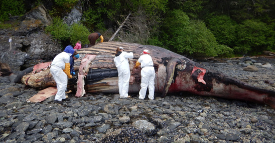 akr humpback necropsy 3800x2000.jpg