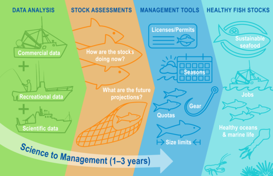 """Science to Management The second image has four sections with arrows to show the progression from data analysis to stock assessments to management advice to healthy fish stocks. Commercial data, recreational data, and scientific data inform stock assessments and are represented by outlines of the three different types of vessels. Stock assessments answer questions including, """"How are the stocks doing now?"""" and """"What are the future projections?"""" and this section has outlines of fish and a fishing net. Stock assessments inform management advice, the next section, with icons for licenses/permits, fishing seasons, gear, quotas, and size limits. The final section and overall goal is """"healthy fish stocks"""" with line drawings of fish on a plate for sustainable seafood, fish below a fishing vessel to represent future jobs, and a squid, lobster, and urchins to represent healthy oceans and marine life."""