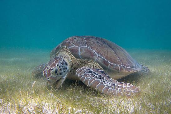 Sea turtle grazing on seagrass.