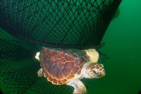 Loggerhead turtle escaping a net equipped with a turtle excluder device.