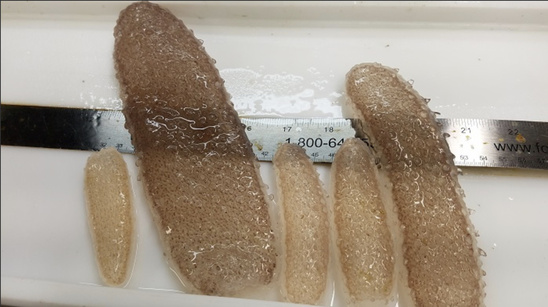 Pyrosomes found off the Oregon Coast range in size from a few inches to more than two feet long. (Photo by Hilarie Sorensen:University of Oregon).jpg