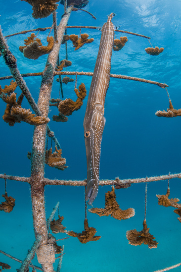 A trumpet fish that calls the CRF Coral Tree Nursery home. Credit: Credit: Zach Ransom/Coral Restoration Foundation.