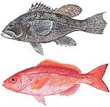 Black sea bass and vermilion snapper