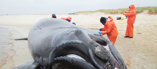 right-whale-calf-necropsy-IFAW.jpg