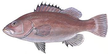 fish-snowy-grouper-image.jpg