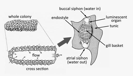 pyrosome-diagram-NOAA-NWFSC.jpg