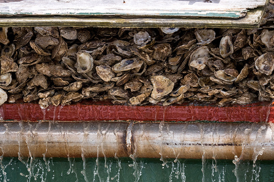 oysters are hoisted by a machine, with water dripping down